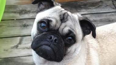 Quinnie the Pug
